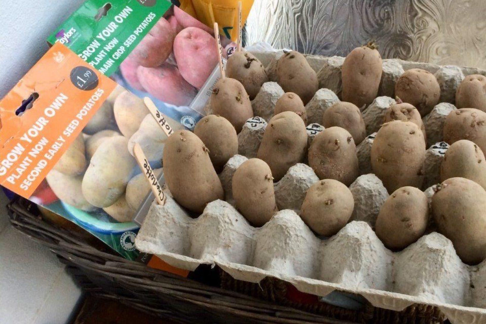Chitting potatoes 13