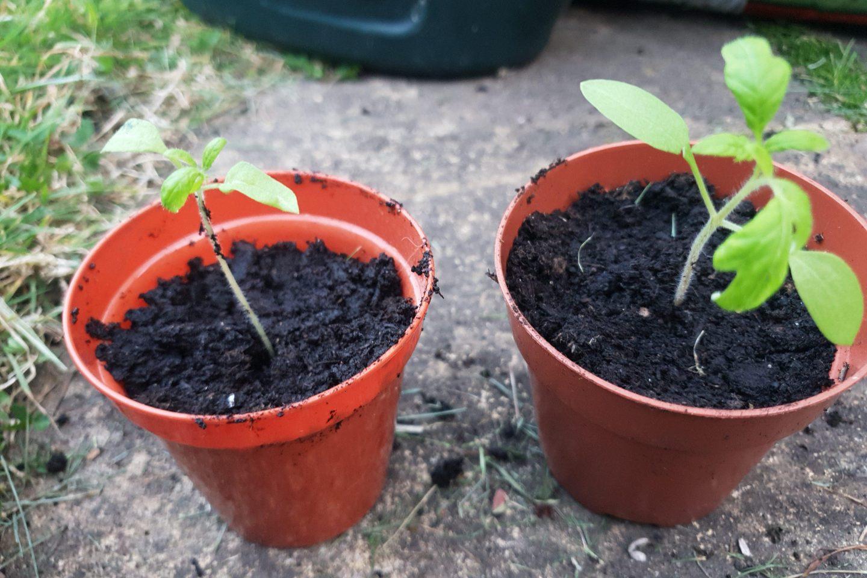 2 seedlings