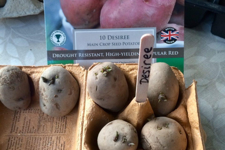 Chitting potatoes 11