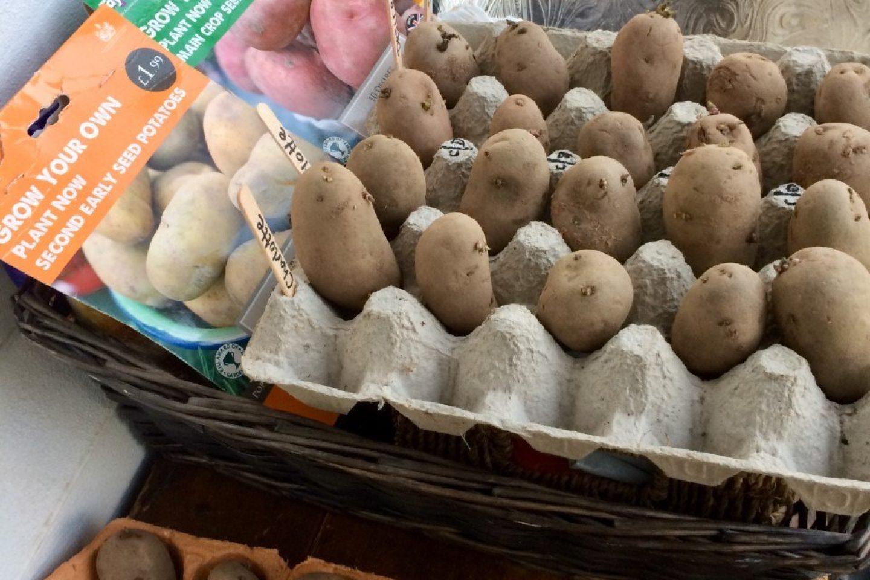Chitting potatoes 12