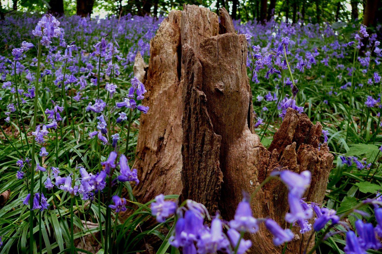 Bluebells near tree