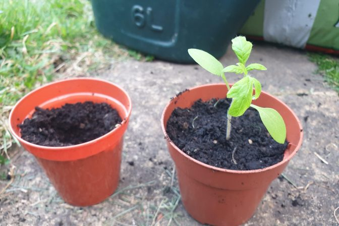 Potted seedling 2