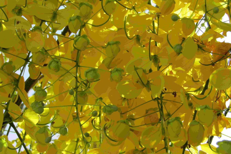 Maidenhair tree autumn