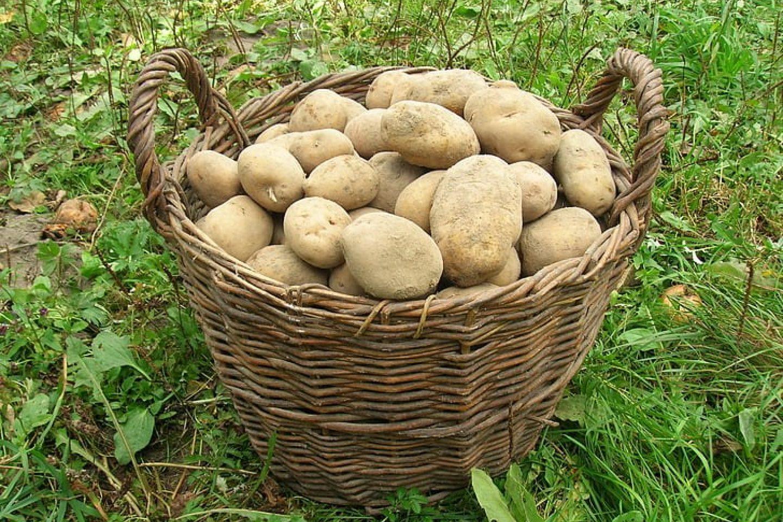 Potatoes late crops