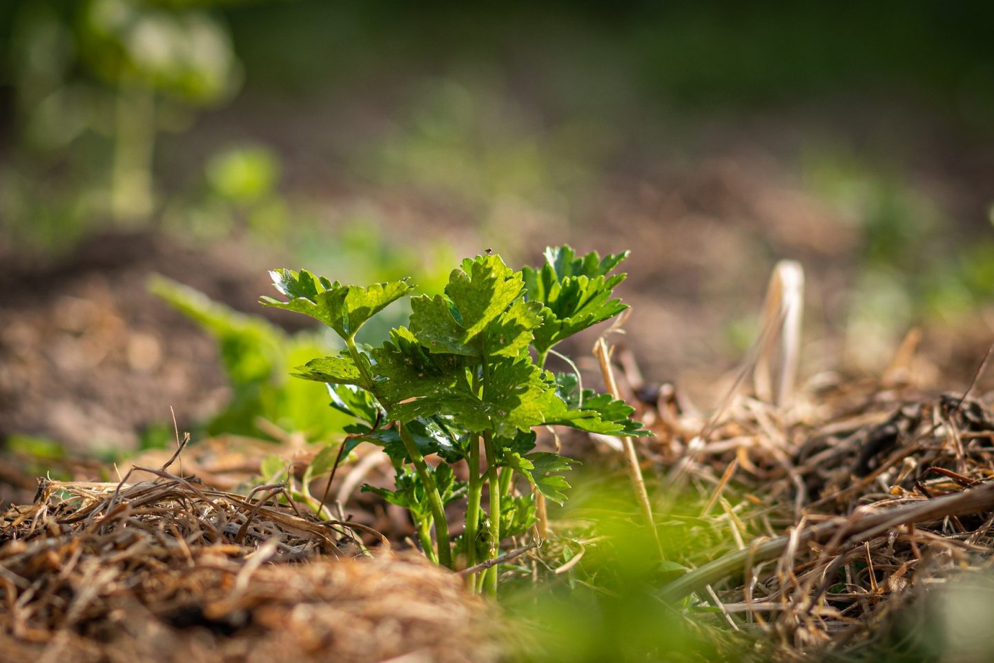 Celery plant with mulch