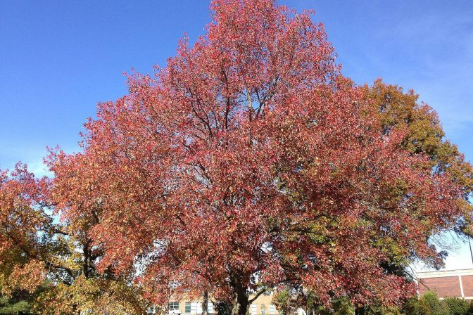 Sweet gum autumn