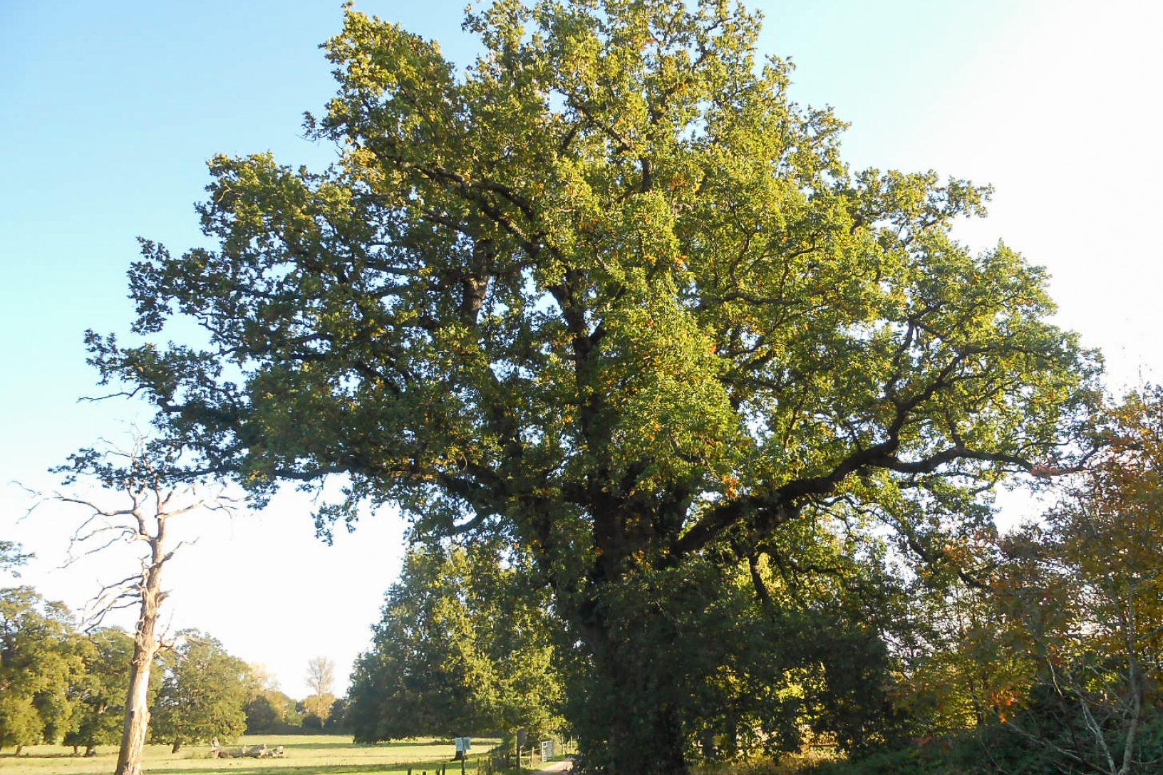 Jan oak 1