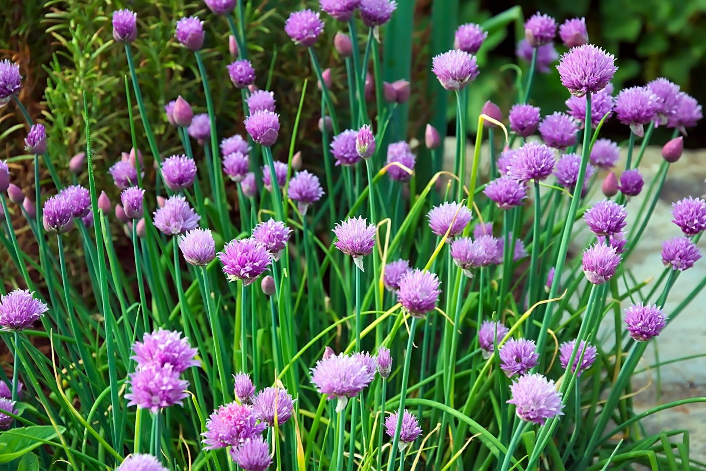 Chives image