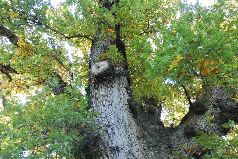 Jan oak 2