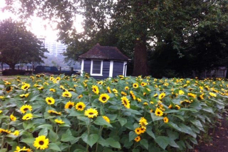 Sunflowers Battersea Park