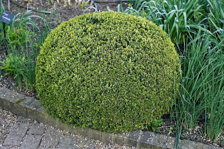 Topiary hedge cutting
