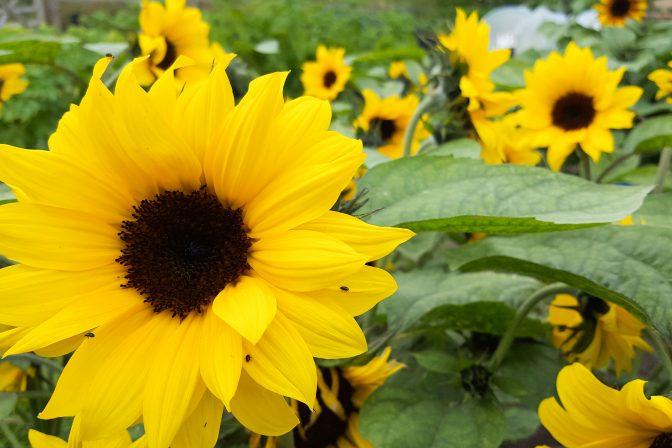 Sunflower trial 2019 1