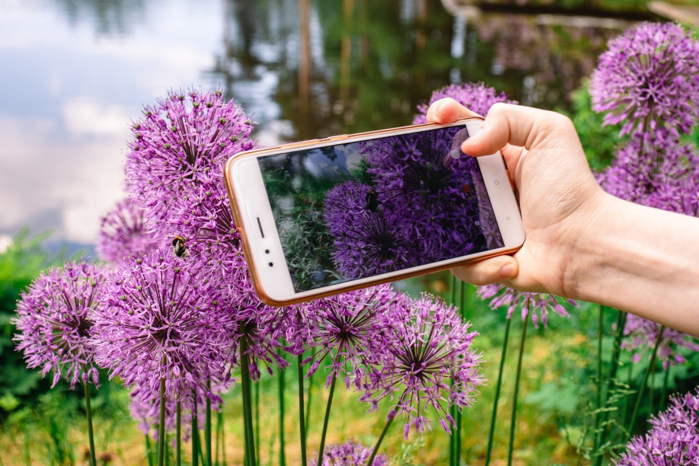 Person taking photo of Allium with mobile phone