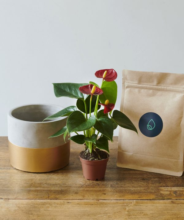 Christmas plant kit by PlantEra