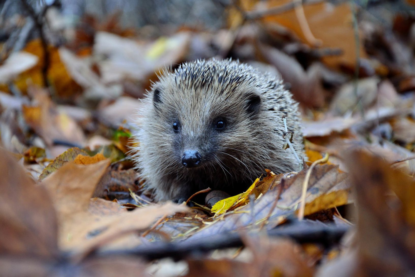 Hedgehog Unsplash 1