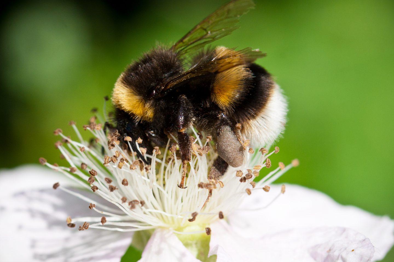 Bee macro Jan B