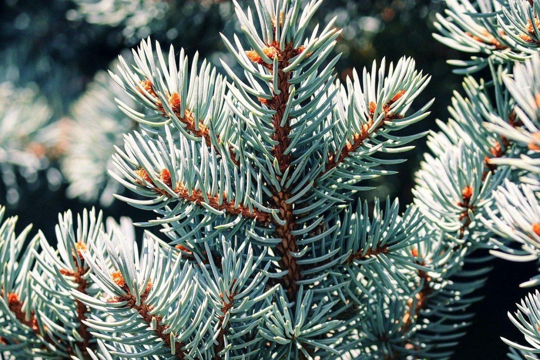 Blue spruce 4464340 1280
