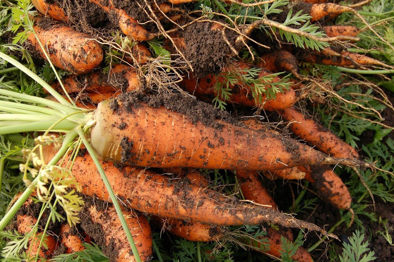 Carrot 551661 1280
