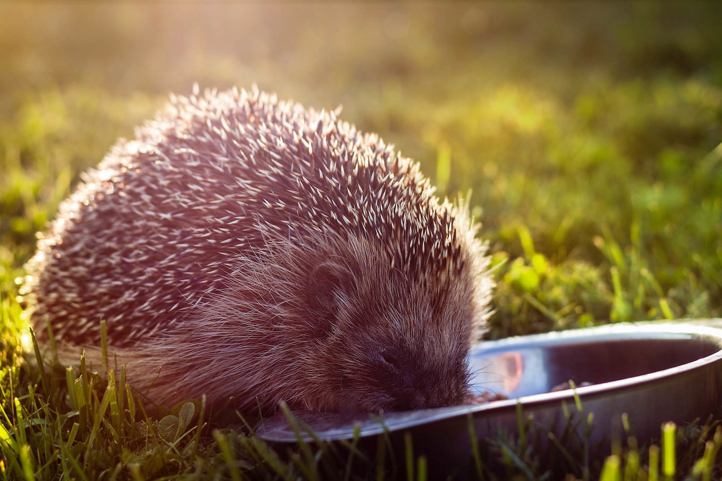 Hedgehog Unsplash 2