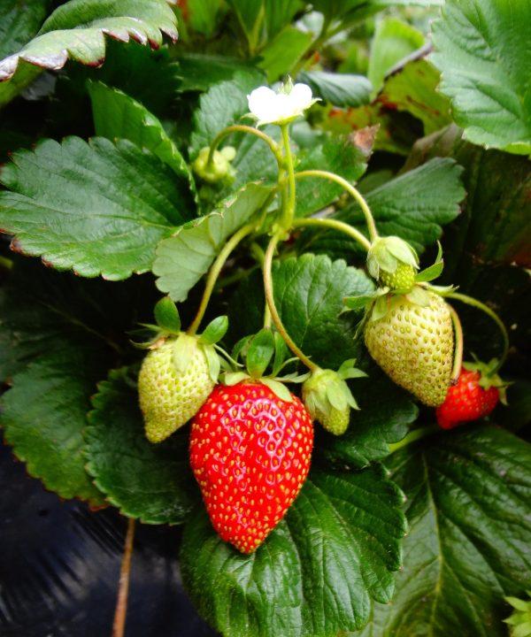 Strawberry plant 1576825 1920