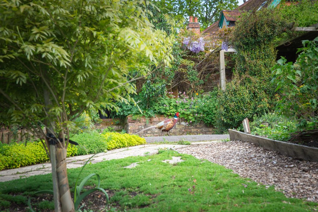Pheasant in Trunkwell garden Charlie Garner 2019