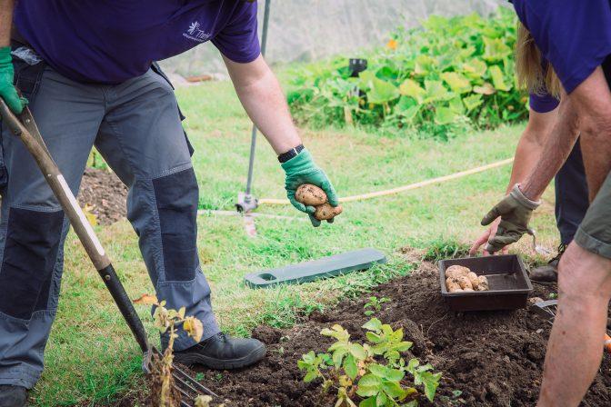 Potato digging Charlie Garner 2019