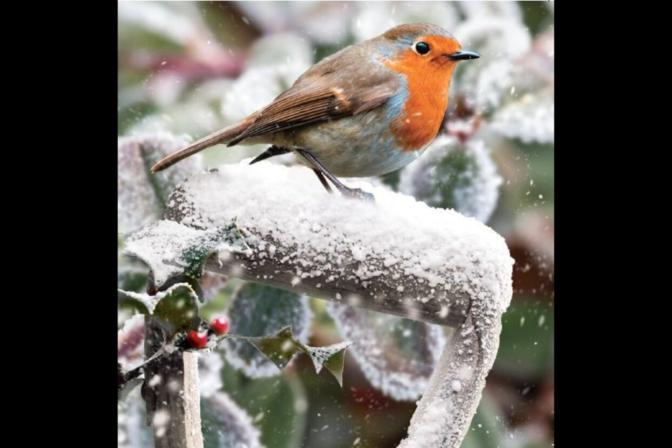 Robin in the Garden web