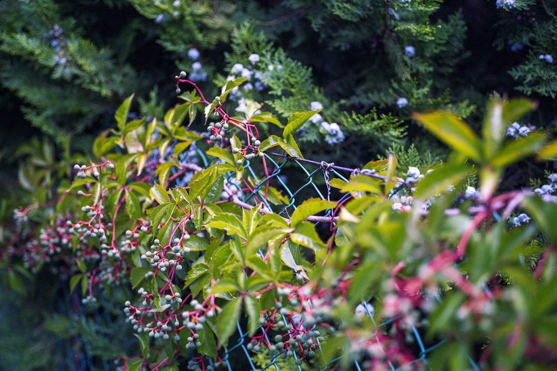 Climbing plants virginia creeper