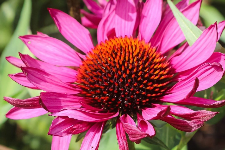 Engage sense of sight purple coneflowers 210902 150841