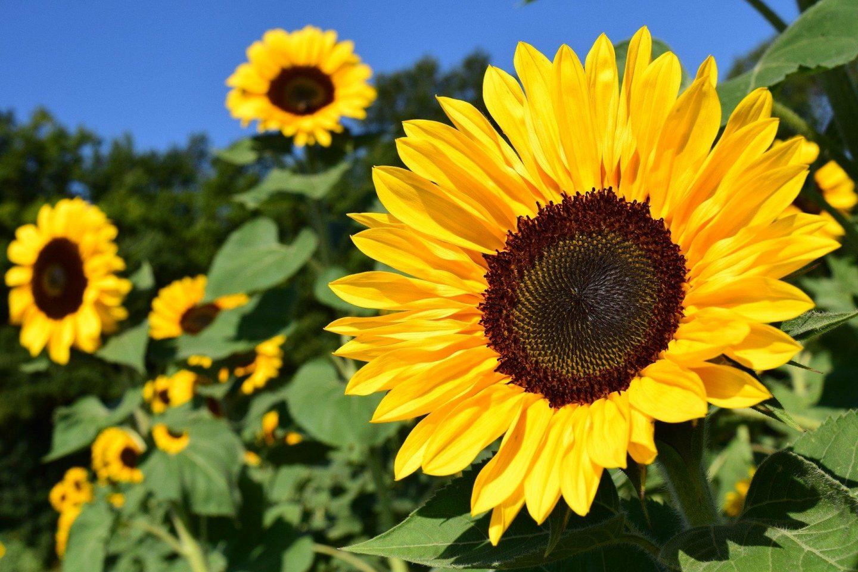 Engage sense of sight sunflower
