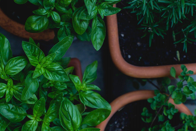 Herbal teas pots of herbs