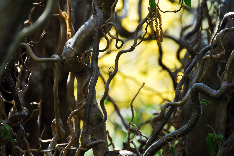 Plants that amaze corkscrew hazel