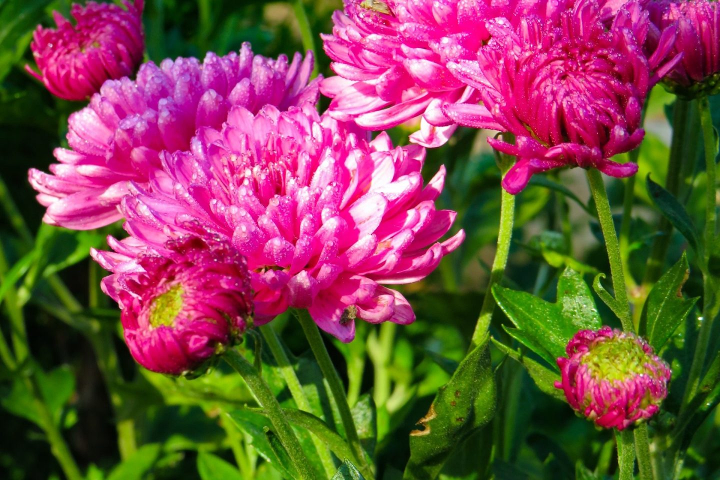 Plants to ease the mind chrysanthemum2
