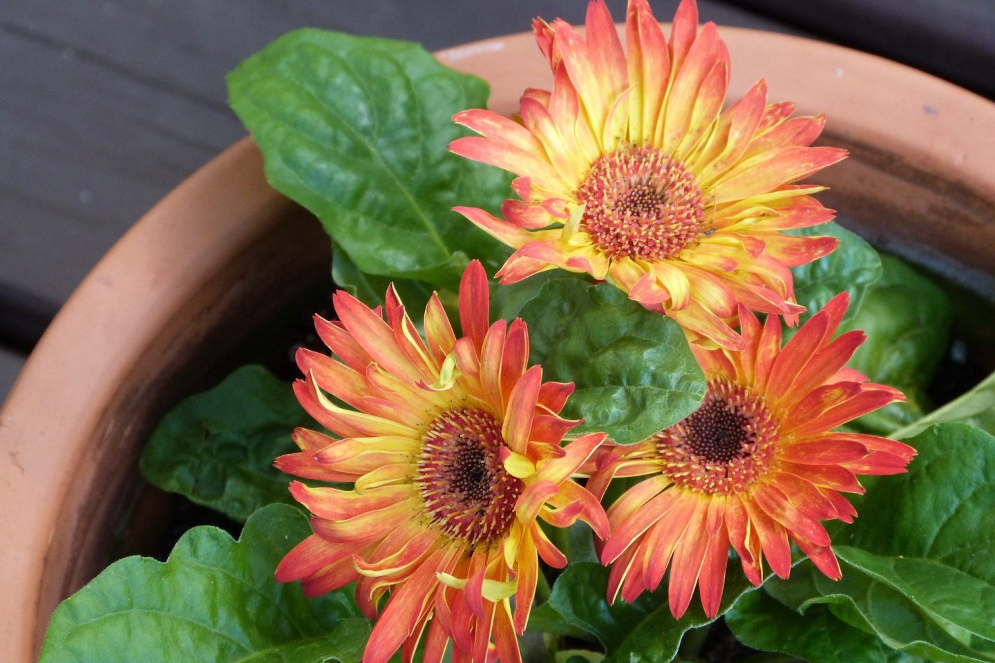 Plants to ease the mind gerbera daisy