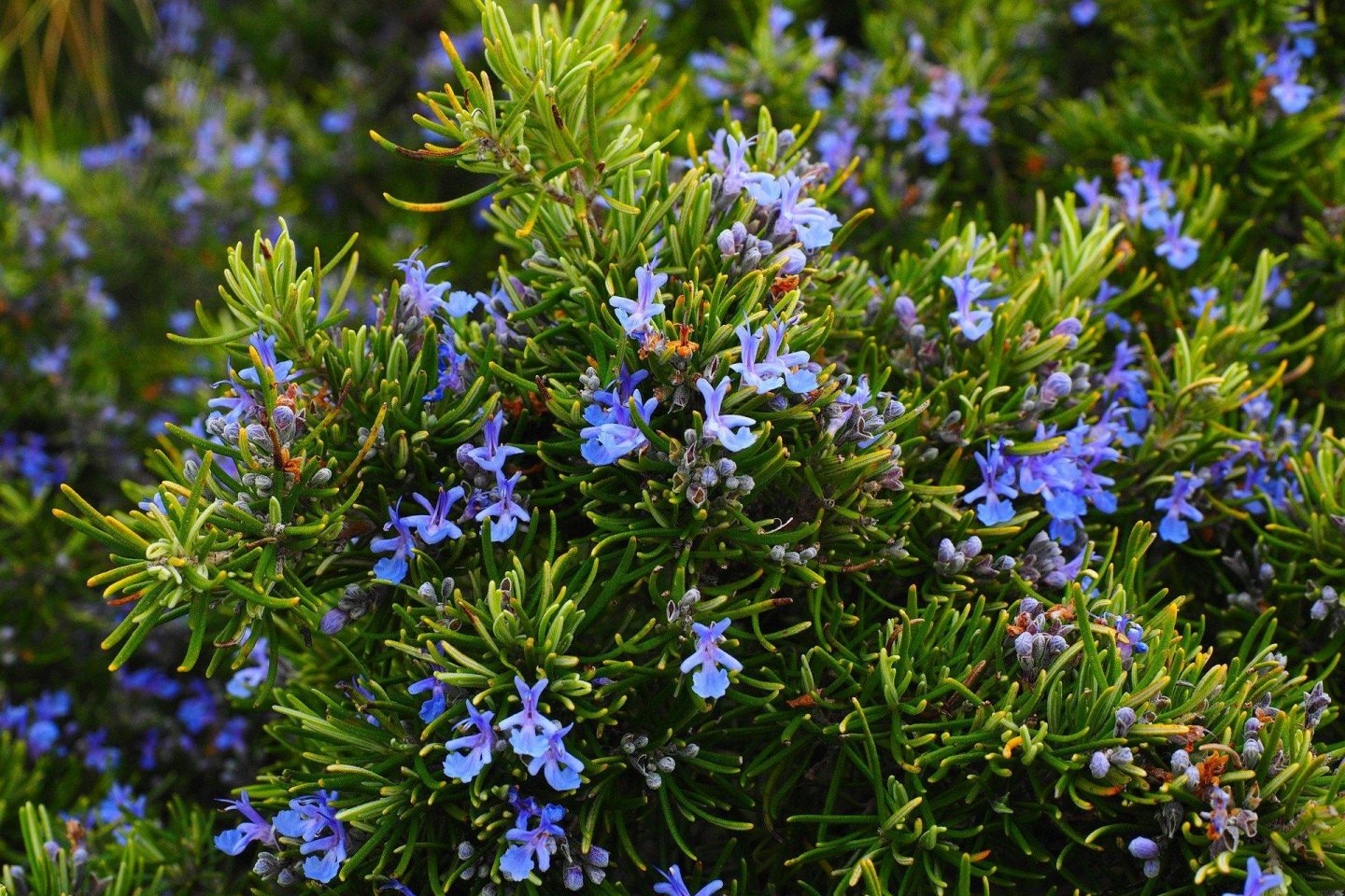 Plants to ease the mind rosemary