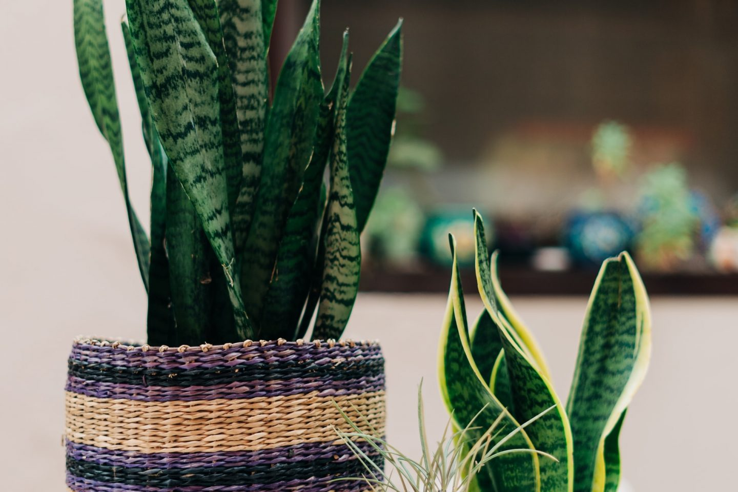 Plants to ease the mind snake plant