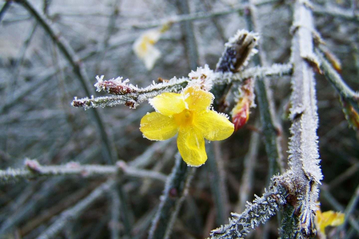 Engaging our sense of smell winter jasmine