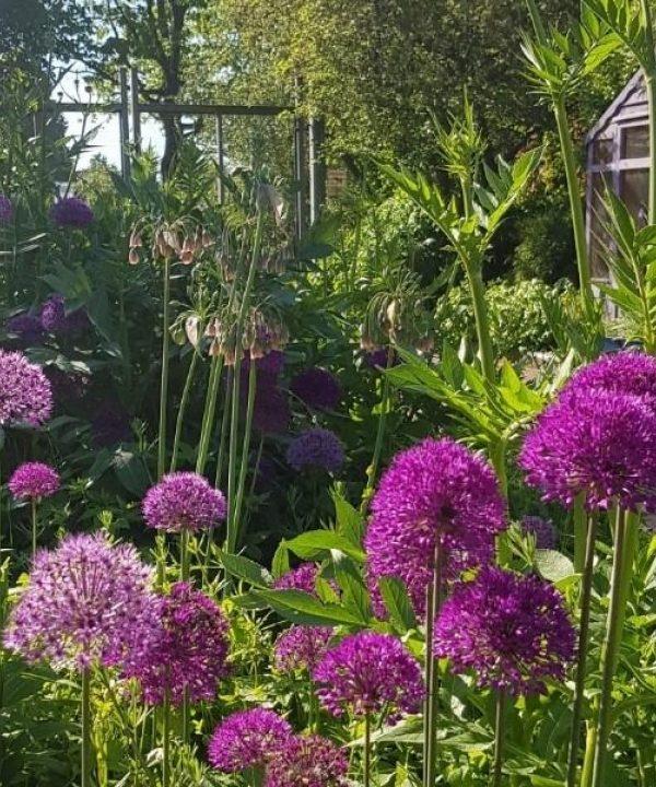 Alliums in Kings Heath Park July
