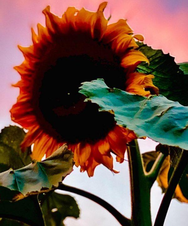 Nicky Bright - sunflower at sunset