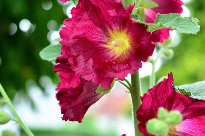 Making sense of sensory garden hollyhocks