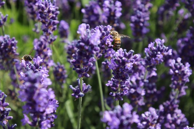 Plants to ease the mind lavender