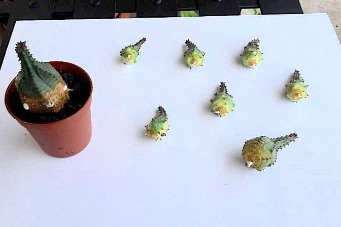 Propagating succulents 2