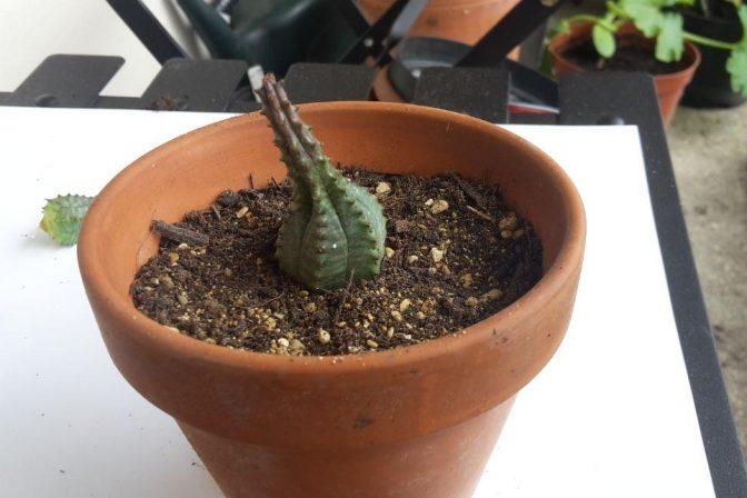 Propagating succulents 7